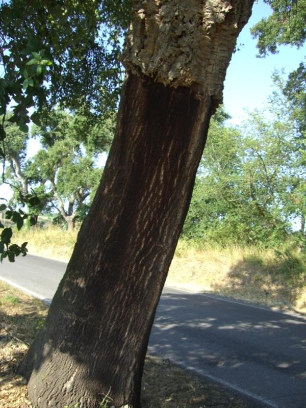 この木何の木 気になる木!
