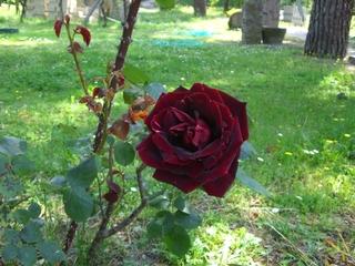 Orvietoでもバラが咲きました!