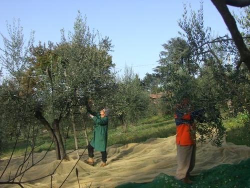 オリーブの収穫です!
