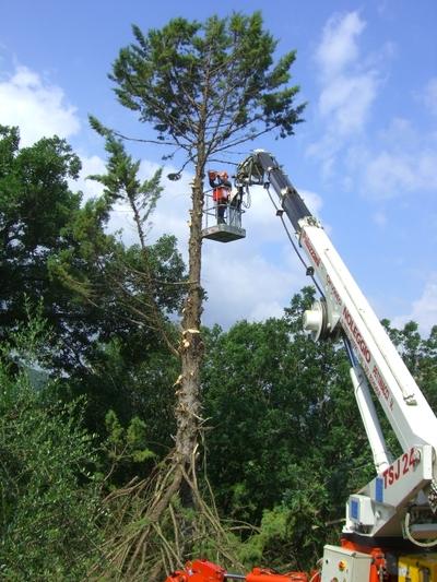 大きな木を切りました!