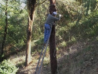 杉の木の伐採
