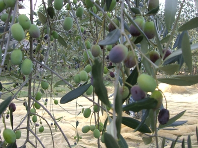 2007年オリーブの収穫!