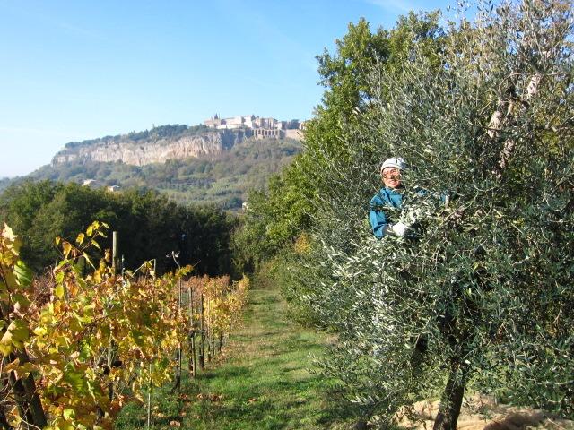 オリーブの収穫を終えました。Orvietoから