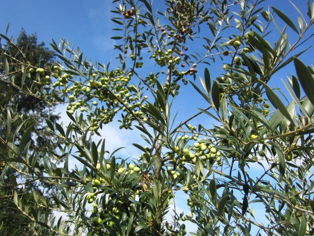 オリーブの収穫!Orvietoから
