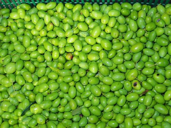 13オリーブの収穫とNovello!