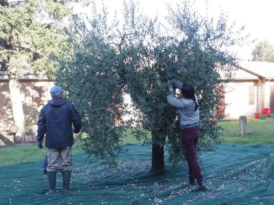 そしてオリーブの収穫です。