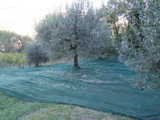 オリーブの収穫です。Orvietoから。